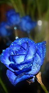 蓝色妖姬的寓意
